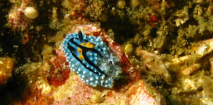 Nudibranchs at the Mergui Archipelago